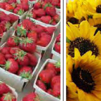 Photo of fresh strawberries and sunflowers
