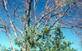 Dutch Elm disease
