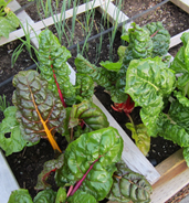 Swiss chard in container garden