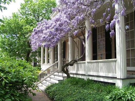 Wisteria on Cambridge Street -  See on back cover of Resident Information Booklet