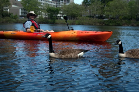 Photographer Richard Hackel passes Canada geese as he kayaks along the Charles River.