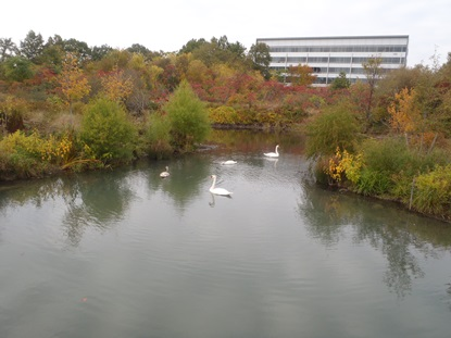 Swans in Oxbow_October 15 2013