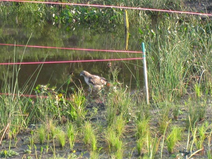 Hawk bathing in the wetland