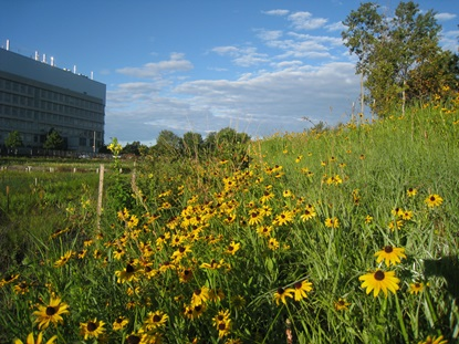 Rudbeckia along banks of the wetland