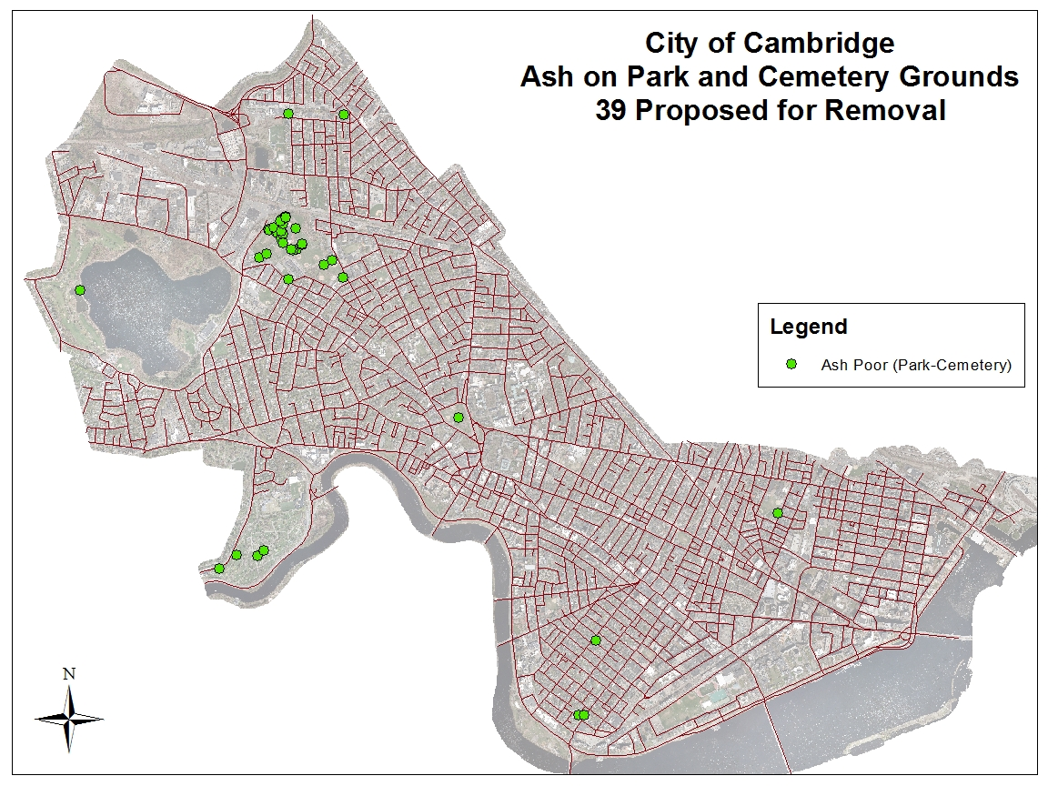 Ash Tree Removals in in Parks and Cambridge Cemetery
