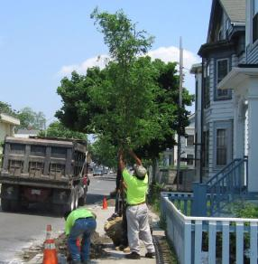 New young tree being planted on Prospect Street
