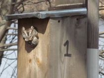 Grey Screech Owl peeking out of a bird house at Fresh Pond Reservation.