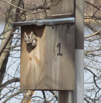 Grey Screech owl living at Fresh Pond Reservation, photo taken on March 18, 2013.